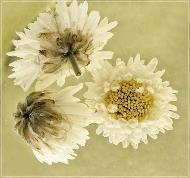 Chrysanthemum flowers after brewing