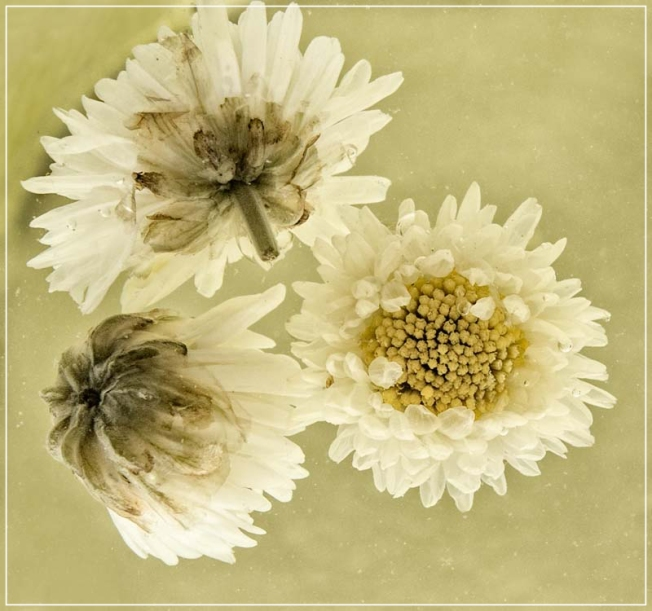 Chrysanthemum flowers after brewing